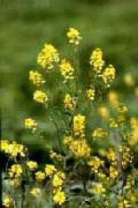 Camelina Sativa. Click image for more.
