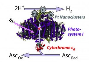 Algae Hydrogen Production. Click image for more info.