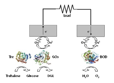 biocell in insect enzyme based schematic   new energy and fuel