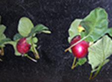 NASA LED Grow Light Raised Radishes