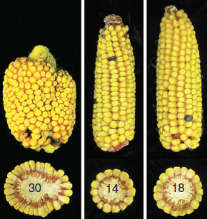 Corn With Different FASCIATED EAR2 Gene Expressions. Click image for more info.