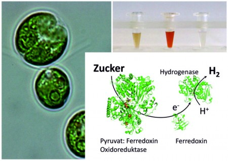 Green Algae Coaxed To Make Hydrogen. Click image for more info.