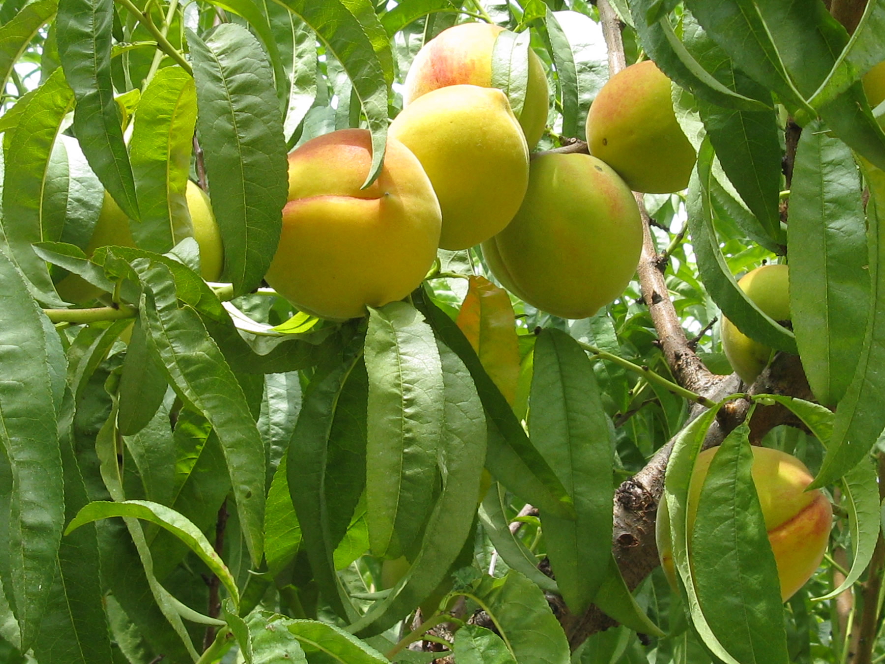 Fruit Trees For Fuel