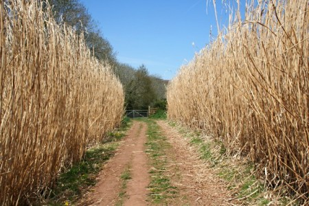 Giant Miscanthus Nearly Ready to Harvest. Click image for the largest view.  Image Credit: Wikipedia.