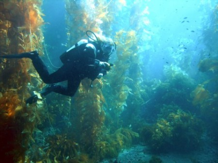 Diver In a Kelp Forest. Click image for the largest view.