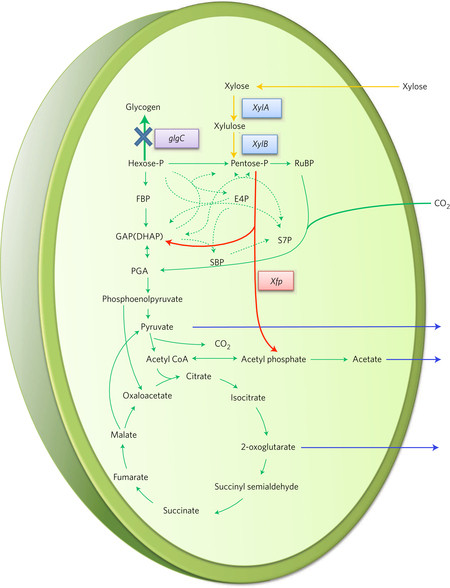 The engineered central carbon metabolism in the cyanobacterium Synechocystis. Image Credit: NREL. Click image for the largest view.