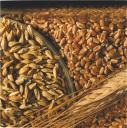 Assorted Wheat Varieties