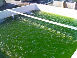 PetroAlgae Eddy Driven Algae Tank. Click image for more.