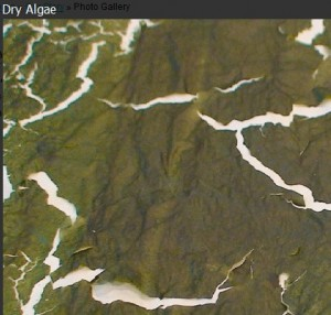 AlgaeVentures Dryed Algae Example. Click image for a larger view.