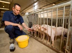 Piglets Get Glycerin