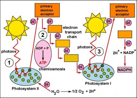 Photosystem II Illustration.  For much more including animations see www.Biologycorner.com/APbiology or click the link in the paragraph above.