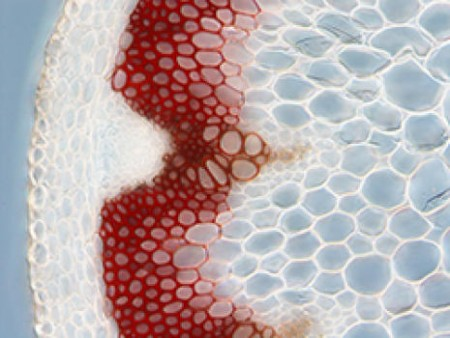 The presence of lignin in secondary plant cell walls can be visualized by specific dyes. On this cross section of the Arabidopsis stem, lignin is stained red. Image Credit:  VIB. Click image for the largest view.