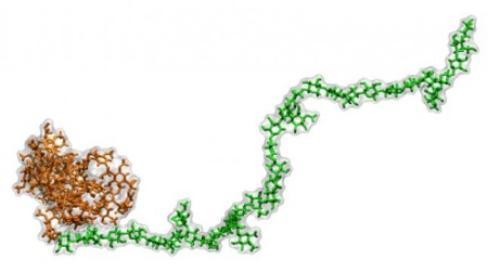 A transgenic lignin-hemicellulose molecule. Computer simulations revealed that hydrophobic, or water repelling, lignin (brown) binds less with hydrophilic, or water attracting, hemicellulose (green). The findings point researchers toward a promising way to engineer better plants for biofuel. Image Credit: Loukas Petridis.  Click image for the largest view.