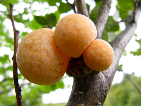 Orange-colored galls, such as these pictured in 2010, from the beech tree forests of Patagonia have been found to harbor the yeast that makes lager beer possible. Five hundred years ago, in the age of sail and when the trans-Atlantic trade was just beginning, the yeast somehow made its way from Patagonia to the caves and monastery cellars of Bavaria where the first lager beers were fermented. University of Wisconsin-Madison Genetics Professor Chris Todd Hittinger and colleagues from Portugal, Argentina and the University of Colorado describe the lager yeast, whose origin was previously unknown.  I,age Credit: University of Wisconsin.  Photo by Diego Libkind, Institute for Biodiversity and Environment Research, Bariloche, Argentina.  Click inage for the largest view.