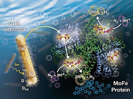 An illustration of a light-driven process for converting nitrogen to ammonia described by USU biochemists and collaborators. Image Credit: Al Hicks, NREL. Click image for the largest view.