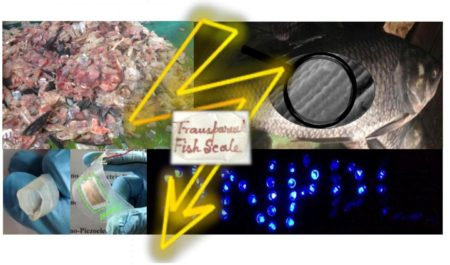 Waste fish scales (upper left corner) are used to fabricate flexible nanogenerator (lower left) that power up more than 50 blue LEDs (lower right). An enlarged microscopic view of a fish scale shows the well-aligned collagen fibrils (upper right). The possibility of making a fish scale transparent (middle) and rollable (extreme left lower corner) is also illustrated. Image Credit: Sujoy Kuman Ghosh and Dipankar Mandal/Jadavpur University. Click image for the largest view.